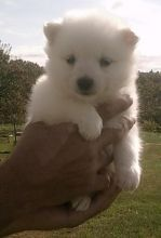 Superb American Eskimo puppies male and female for free Adoption