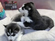 🏁🏡 CHARMING ☮ BLUE EYES ☮ SIBERIAN HUSKY ☮ PUPPIES 🏁🏡