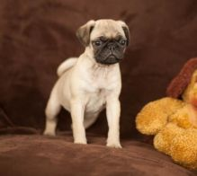 🏁🏡HEALTHY ☮ CKC MALE☮FEMALE PUG ☮ PUPPIES🏁🏡