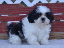 Healthy CKC Male/Female Shih Tzu Puppies For Adoption