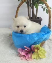 Adorable CKC Pomeranian Puppies Now Ready For Adoption