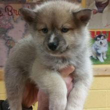 Male and Female Registered Pomsky puppies for rehoming