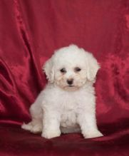 🏁🏡🏁🏡 LOVABLE ☮ BICHON FRISE ☮ PUPPIES ☮ FOR ADOPTION🏁🏡🏁🏡