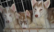 Very Rare Find - CKC Registered Canadian Eskimo (Inuit) Puppie for Sale