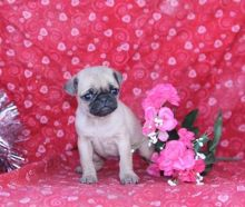 Jumpin Jack - Pug Puppy for Sale