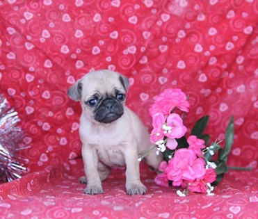Jumpin Jack - Pug Puppy for Sale Image eClassifieds4u