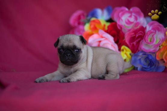 Jumpin Jack - Pug Puppy for Sale Image eClassifieds4u