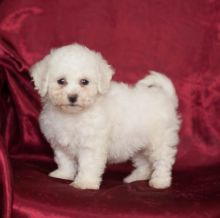 Cute and Amazing Bichon Frise Puppies for Re-Homing