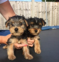 Gorgeous Yorkie Puppies For Re-Homing