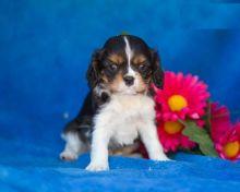 Purebred Blenheim Cavalier King Charles Spaniel Puppies