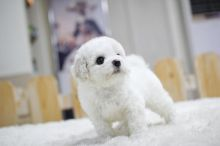 Amazing Bichon Frise Puppies for Re-Homing