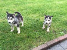 Charming Siberian Husky Puppies for Adoption
