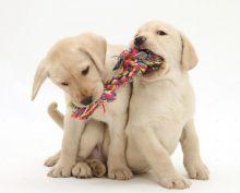 C.K.C Reg. Male/Female Labrador Retriever Puppies For Adoption