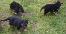 Smart C.K.C Male/Female German Shepherd Puppies For Adoption