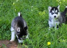 Siberian Husky Puppies.