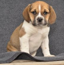 ✔ ✔ REMARKABLE **JACK RUSSELL TERRIER** PUPPIES AVAILABLE✔ ✔