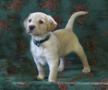 🏡 Excellent ☮ C.K.C ☮ Labrador Retriever ☮ Puppies For Adoption 🏡