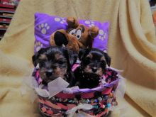 MALE AND FEMALE YORKIE PUPPIES!!