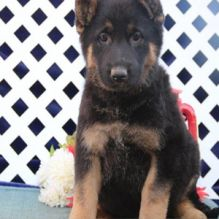 cheap german shepherd puppies for sale