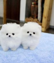Beautiful pomeranian puppies ready to go out .