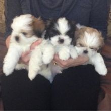 Shih Tzu puppies looking for new homes