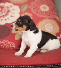 ✔ ✔ REMARKABLE **JACK RUSSELL TERRIER** PUPPIES AVAILABLE✔ ✔ Image eClassifieds4u 1