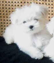 **maltese puppies for sale **