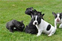 French bulldog puppies(803) 597-1502 wew