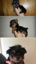 short legs - AKC reg, Yorkshire Terrier - Yorkie