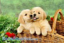 Well Trained Golden Retriever Puppies/amamdaver.onica@gmail.com
