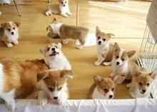 Beautiful, loving and playful Welsh Corgi puppies are ready for a new loving & caring home!
