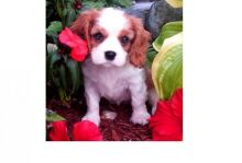 Amazing Cavalier King Charles Spaniel puppies ❤️❤️❤️ Email