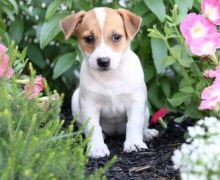 ✔✔╬🏁 Jack Russell Terrier Pups for Re-Homing✔✔╬🏁