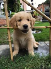 CUTE GOLDEN RETREIVER PUPPIES FOR SALE