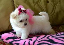attentive and playful Maltese Available for sale