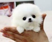Sweet pomeranian Pups for adoption Image eClassifieds4U