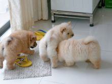 High quality chow chow pups available