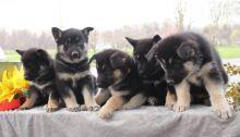 OUTSTANDING C.K.C German Shepherd Puppies For Adoption