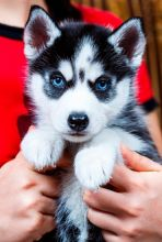 HE IS VERY FUNNY WITH KIDS PLAYING ALL DAY LONG HUSKY PUPPIES Image eClassifieds4u 1