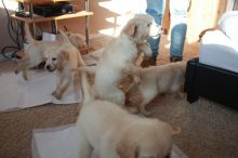 Beautiful Golden Retriever Puppies for loving homes