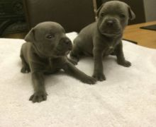 Cute Staffordshire Bull Terrier Puppies for Sale