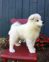 Gorgeous Samoyed Puppies for Sale