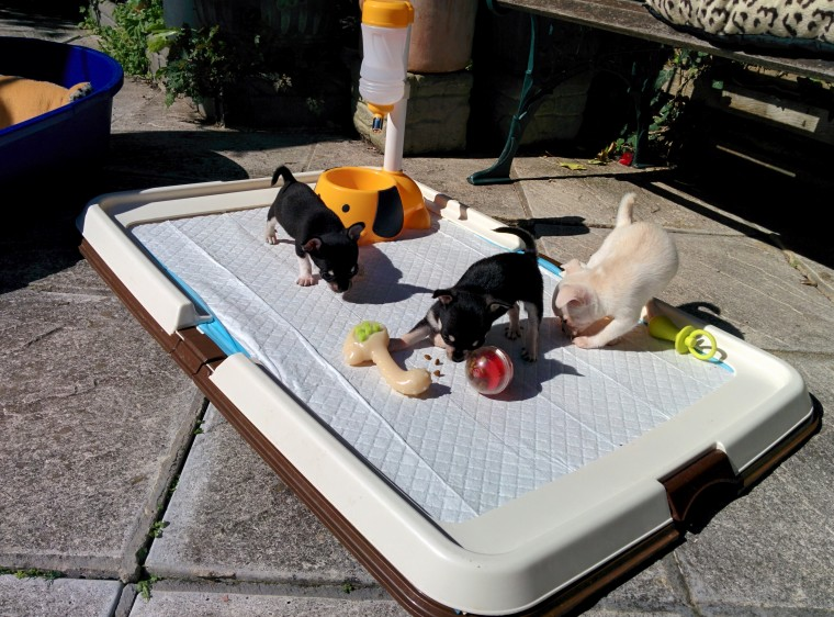 Beautifull Chihuahua Puppies looking for new homes Image eClassifieds4u