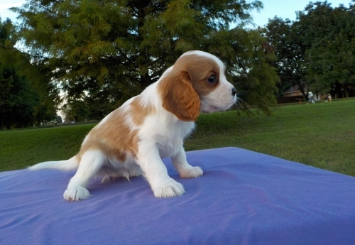 Cavalier King Charles Spaniel Puppies for Sale Image eClassifieds4u