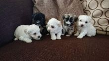Beautiful Havanese Puppies for loving homes Image eClassifieds4u 3