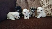 Beautiful Havanese Puppies for loving homes Image eClassifieds4u 3