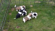 Beautiful Havanese Puppies for loving homes Image eClassifieds4u 1