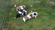 Beautiful Havanese Puppies for loving homes Image eClassifieds4u 1