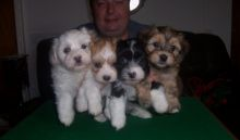 Beautiful Havanese Puppies for loving homes Image eClassifieds4u 2