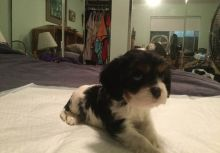Cavalier King Charles Spaniel Puppies for Sale Image eClassifieds4u 4
